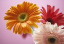 How to Grow Gerbera Daisies & How Long Before Full Bloom?