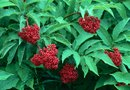 Can You Trim Back an Elderberry Bush in the Spring if It Has Already Started to Grow?