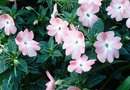 Can You Overwinter Vinca?