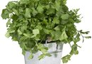 Harvesting and Preserving Cilantro