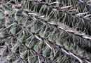 """If My Barrel Cactus Turns White, Will it Recover?"""