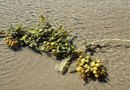 The Effects of Seaweed Fertilizer on the Growth of Plants