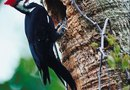 How to Keep a Woodpecker From Pecking on Your Pecan Tree