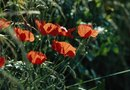 How to Grow Perennial Poppies