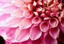 Facts on Dahlias