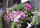 Difference Between a Compact & Trailing Petunia