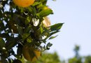 What to Do After Your Orange Tree Freezes