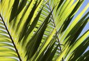 Why Do Palm Fronds Turn Yellow?