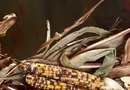 How to Prepare Corn Seed for Next Year's Planting