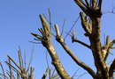 How to Prune Dead Limbs From a Locust Tree