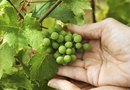 Should You Trim Dead Vines From Grapes?