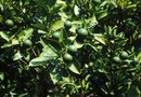 How to Maximize Lime Tree Production