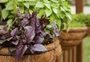 How to Grow Herbs in a Shoe Rack