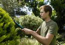 How to Trim a Fern Pine