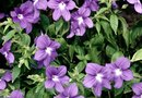 How to Grow Vinca Periwinkle Flowers in a Pot