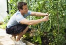 An Organic Way to Rid Tomato Plants of Ants