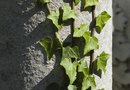 How to Replant an Off Shooting Ivy Vine