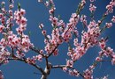 Japanese Cherry Tree Facts
