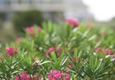 How to Grow Oleanders From Seed