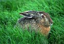 How Do Rabbits Get Into Yards With Chain Link Fences Around Them?