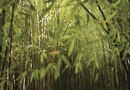 How to Cut Bamboo for Planting