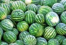 How to Know When Icebox Watermelons Are Ripe