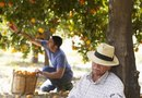 Harvest Time for Oranges & Grapefruits