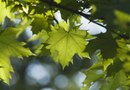 What Does a Big-Leaf Maple Need to Survive?