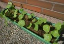 Deep Window Boxes for Vegetables