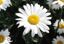 How to Deadhead a Daisy