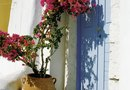 Growing Bougainvillea Up a Fence