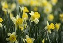 When Is the Proper Time to Cut Back Daffodils?
