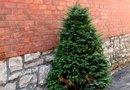 How to Plant Dwarf Conifer Trees in Containers