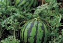 Tips for Growing Silverline Melons