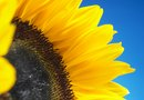 How to Increase Sunflower Growth