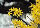Forsythia Gall Disease