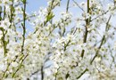 White Cherry Tree Flowers