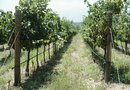 Building a Wire Fence for Grapevines