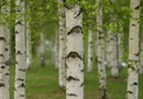 How to Shape Multi-Trunk Birch Trees
