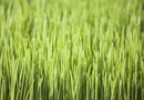 How to Grow Wheatgrass With Seaweed Fertilizer
