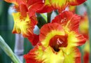 How to Grow Gladiolus Bulbs Inside
