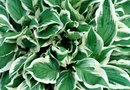 Causes of White Spots on Hosta Plants