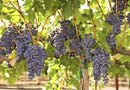 Should You Trim New Growth on Grapevines During the Growing Season?