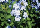 How to Prune the Cape Plumbago