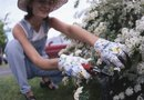 Bridal Wreath Spirea Pruning