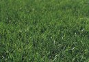 When Does Turf Grass Grow?