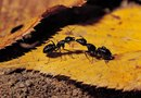 Lawn Care to Get Rid of Black Ants