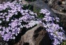 Creeping Phlox Under Pine Trees