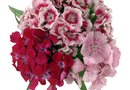 How to Care for Red Dianthus