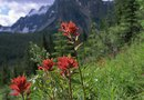 Germinating Seeds of the Indian Paintbrush
